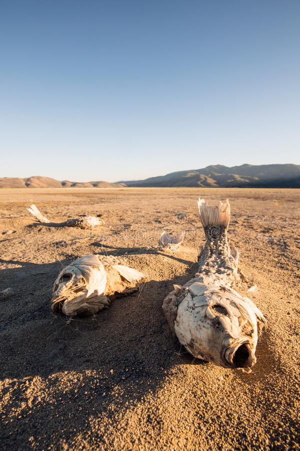 Dead suffocated fish skeleton. Lying on a dried out lake bed royalty free stock photo