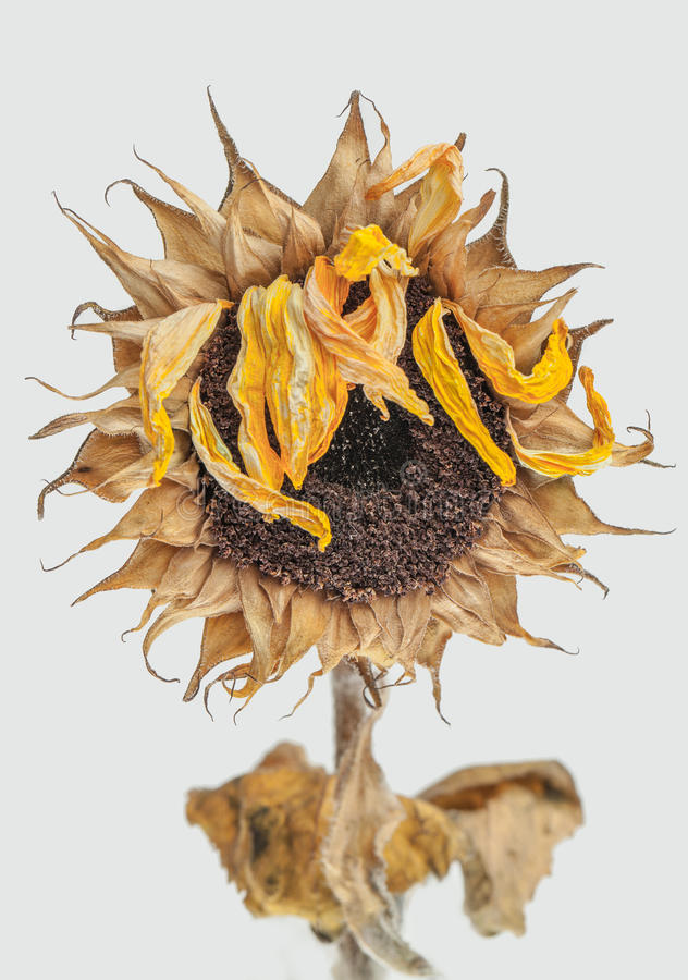 Dead Sunflower. On white background stock photography