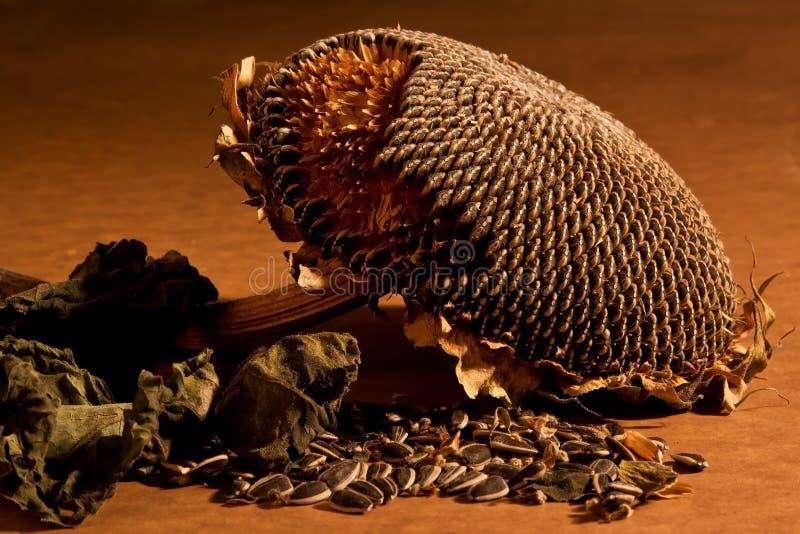 Dead sunflower with dead leaves stock photos