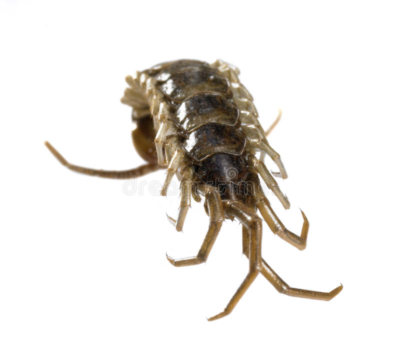 Download Dead Supine Centipede Royalty Free Stock Images - Image: 35289439
