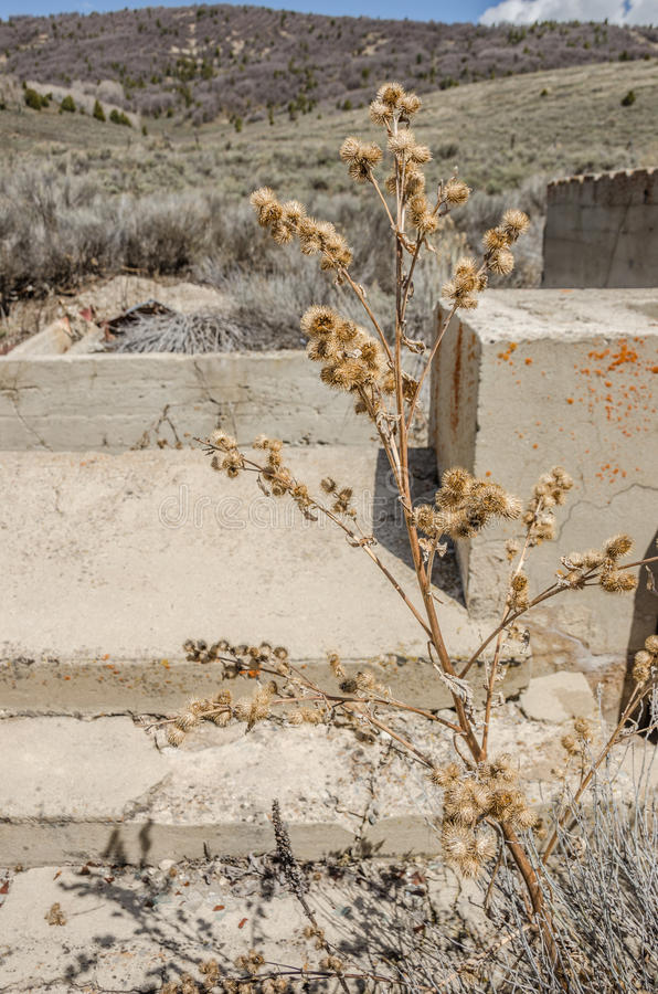Dead Thistle Plant. Dead thistle against the runs of a building in a ghost town with the background bokeh emphasizing the sharpness of the plant and the concrete stock photo