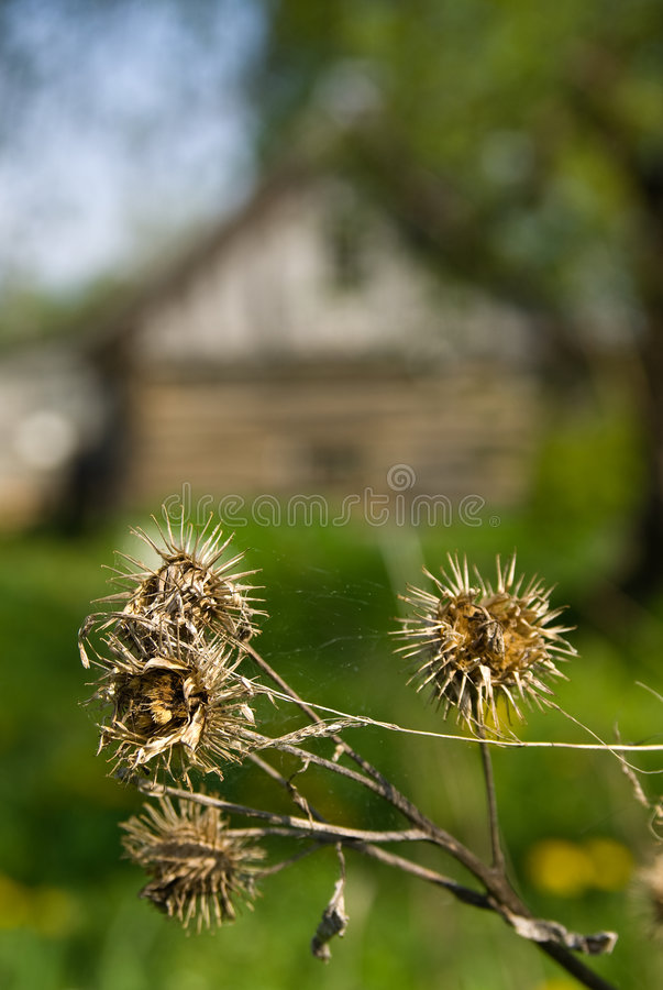 Free Dead Thistles Royalty Free Stock Image - 5271776