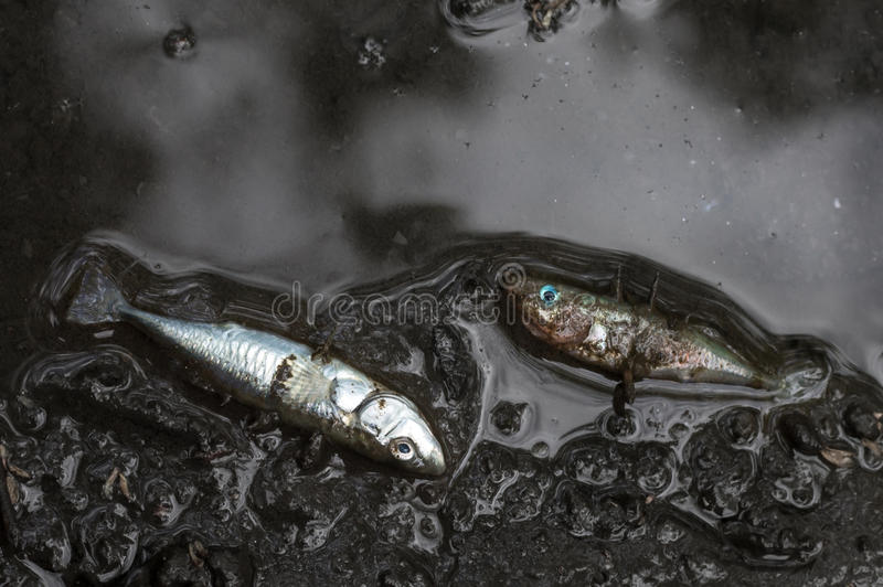 Dead three-spined sticklebacks royalty free stock image