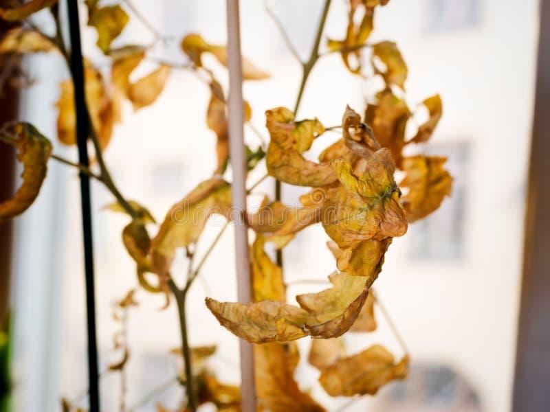 Dead dry tomato plant in kitchen window. Dead tomato plant in kitchen window royalty free stock image