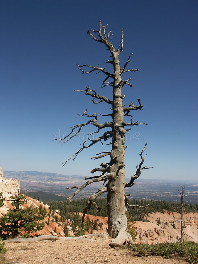 Dead tree. Before landscape in Bryce Canyon national park royalty free stock images