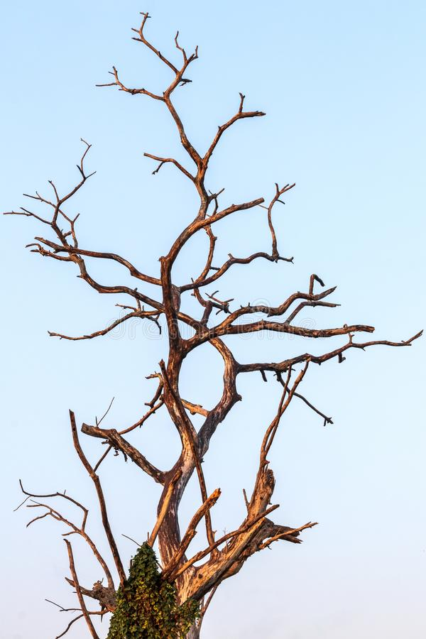 The dead tree branches to the sky early in the morning stock image