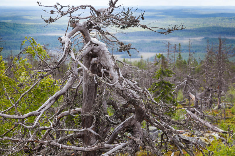 Dead tree. Crooked Dead tree on Mountain of the Vottovaara in Karelia, Russia royalty free stock image