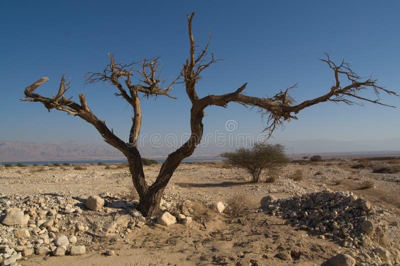 Dead tree on dead sea shore stock photography