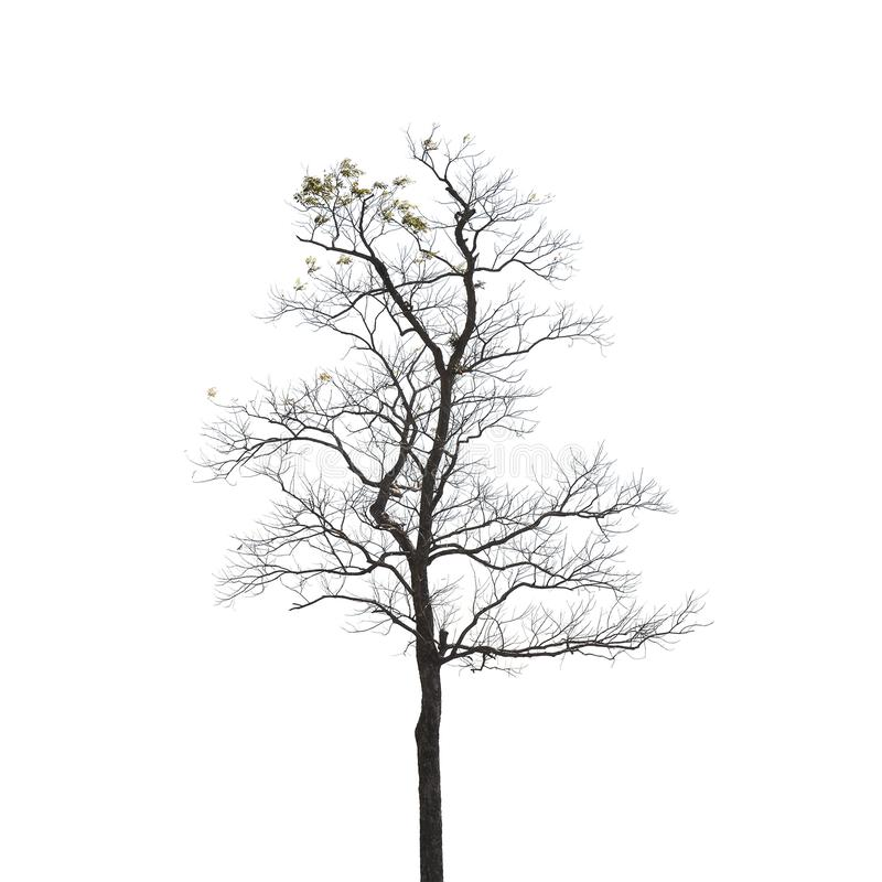 Dead tree. On white background, isolated, dry, branch, black, bare, old, plant, nature, wood, environment, trunk, single, wooden, death, natural, alone, bough stock photo
