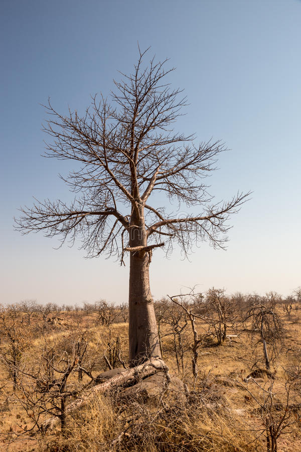 Dead Tree in Desert Landscape of Mapungubwe National Park, South Africa royalty free stock images