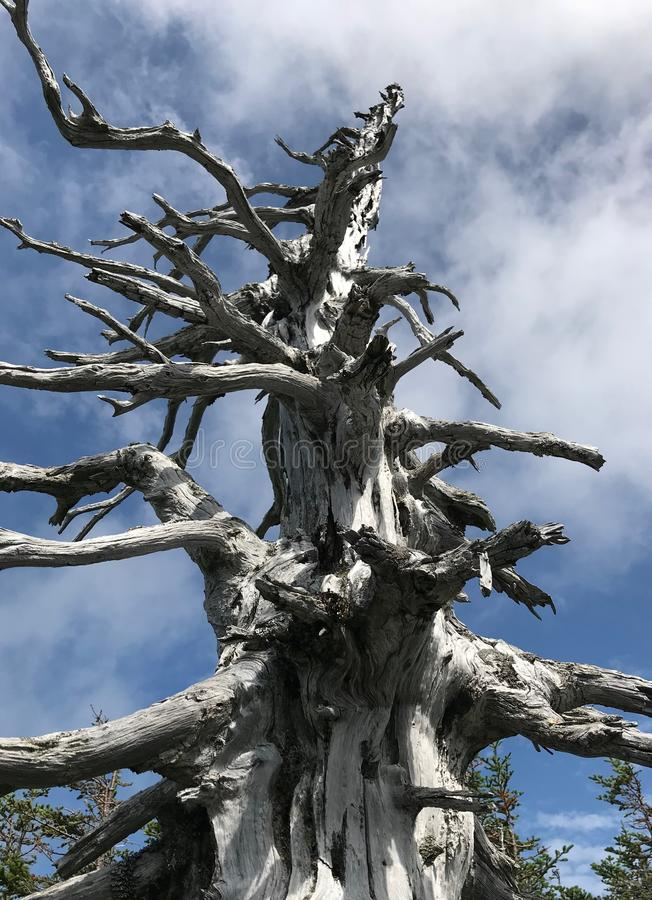 Dead tree dominating the blue sky royalty free stock images