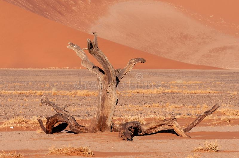 Dead tree at Dune 45 stock photography