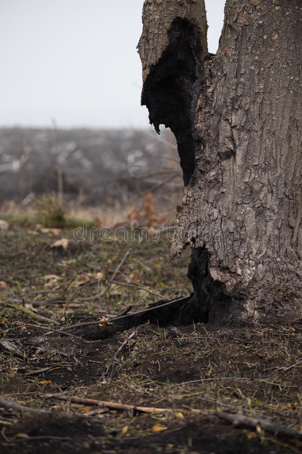 Dead tree after the fire. Burnt, сharred tree trunk in the scorched field at foggy spring morning. Dead tree stands in the middle of a burned-out field royalty free stock photography