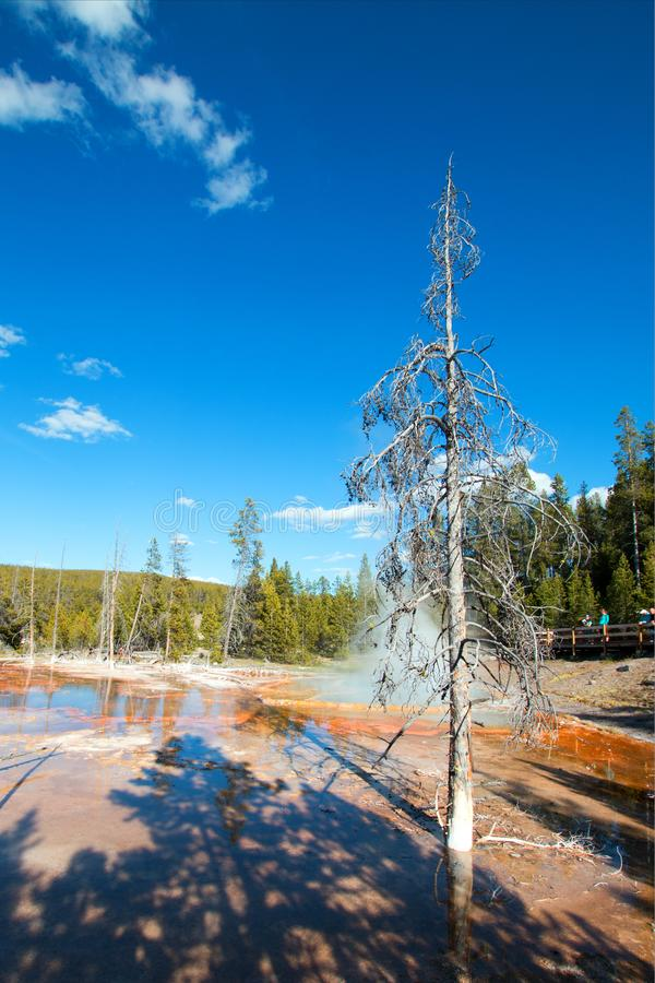 Dead Tree at Firehole Spring on Firehole Lake Drive in Yellowstone National Park in Wyoming USA stock photo