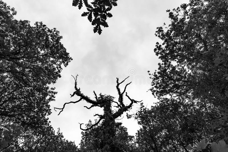 Dead tree in forest royalty free stock photo