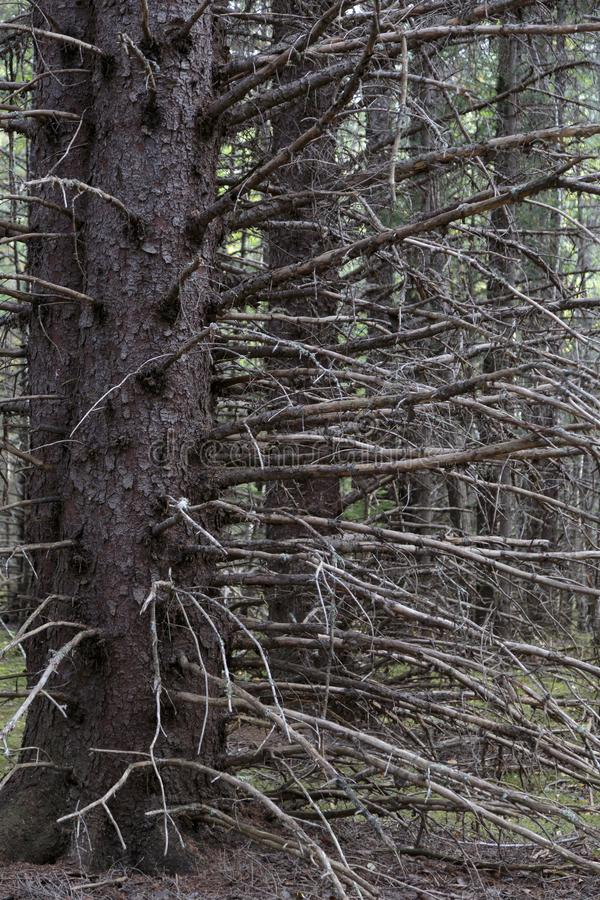 Dead tree in the forest. In the Klondike gold rush Historical park. Skagway Alaska stock photos