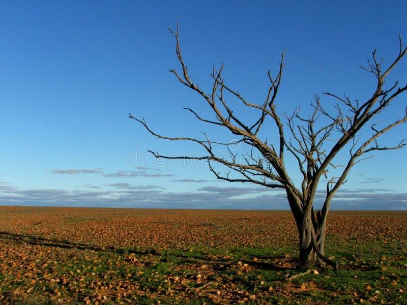 Dead Tree on Gibber Plain. Sturt Desert, Australia stock photo