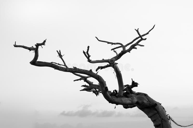 Dead Tree. Photo of a dead tree, in black and white. Global warming and climate concept stock images