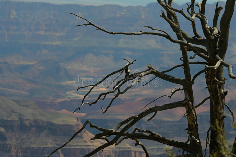 Download Dead tree, Grand Canyon stock image. Image of erosion - 1149763