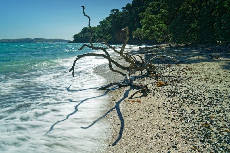 Alien life form on Hobbs Beach Tiritiri Matangi Island open nature reserve, New Zealand. Dead tree looking like an alien life form on Hobbs Beach Tiritiri royalty free stock image