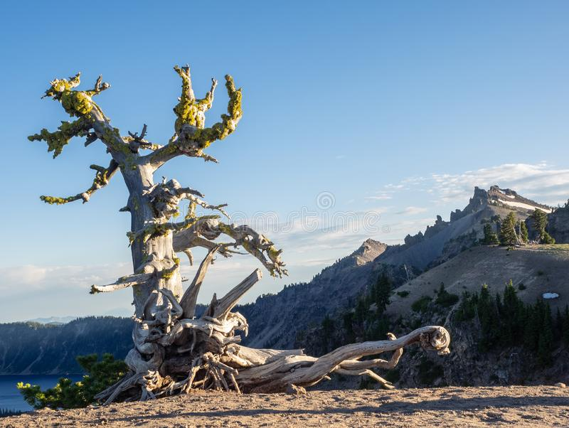 Dead tree in mountains. Moss covered dead tree at the rim of Crater Lake in the mountains of southern Oregon stock image