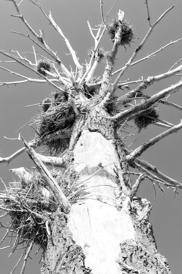 Download Dead tree and nests stock image. Image of alone, ecology - 28607489