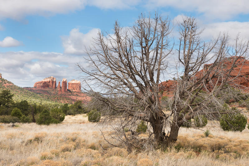 Dead tree in Red Rock state park. Arizona. USA royalty free stock photo