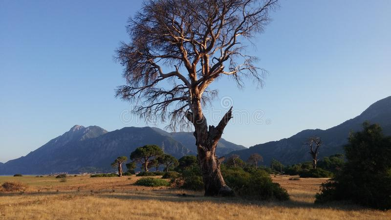Dead tree at sea coast sunrise time. Live tree and dead tree at sea coast Turkey Cirali sunrise time royalty free stock image