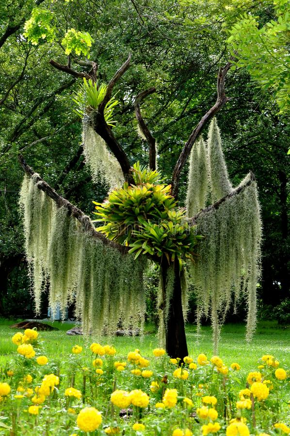 Tree draped in trailing plants and epiphytes. A dead tree skeleton in a botanical garden in Thailand, Asia, covered in abundant trailing moss plants and prolific royalty free stock images