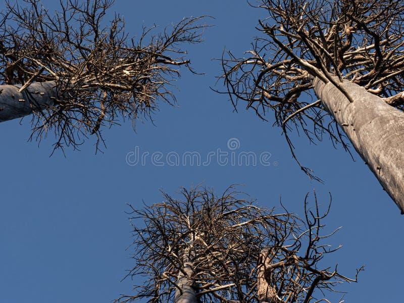 Dead trees against a blue sky stock photography