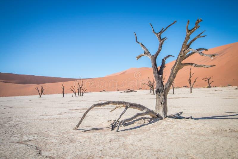 Dead tree in Sossusvlei desert. royalty free stock photography