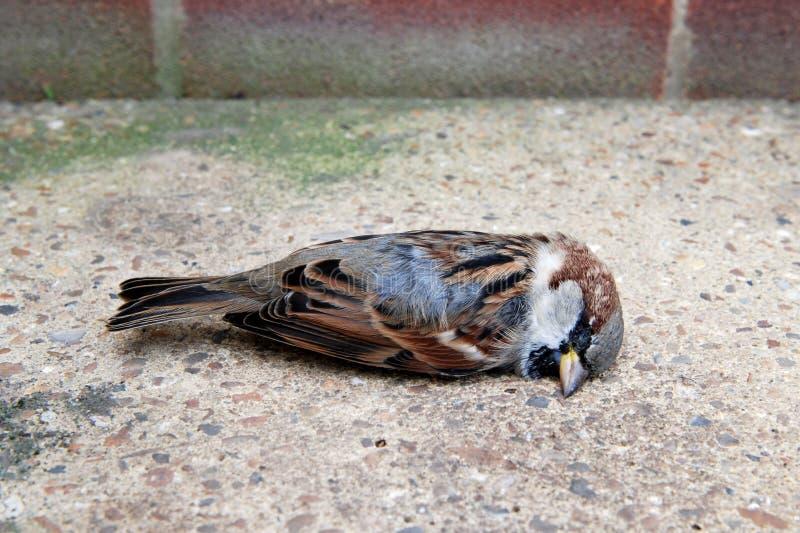 Dead tree sparrow by a brick wall royalty free stock photos