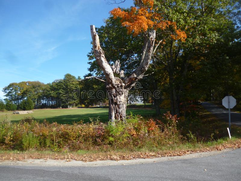 Dead Tree Street Corner. Dead tree on the corner of street with fielded background royalty free stock photography
