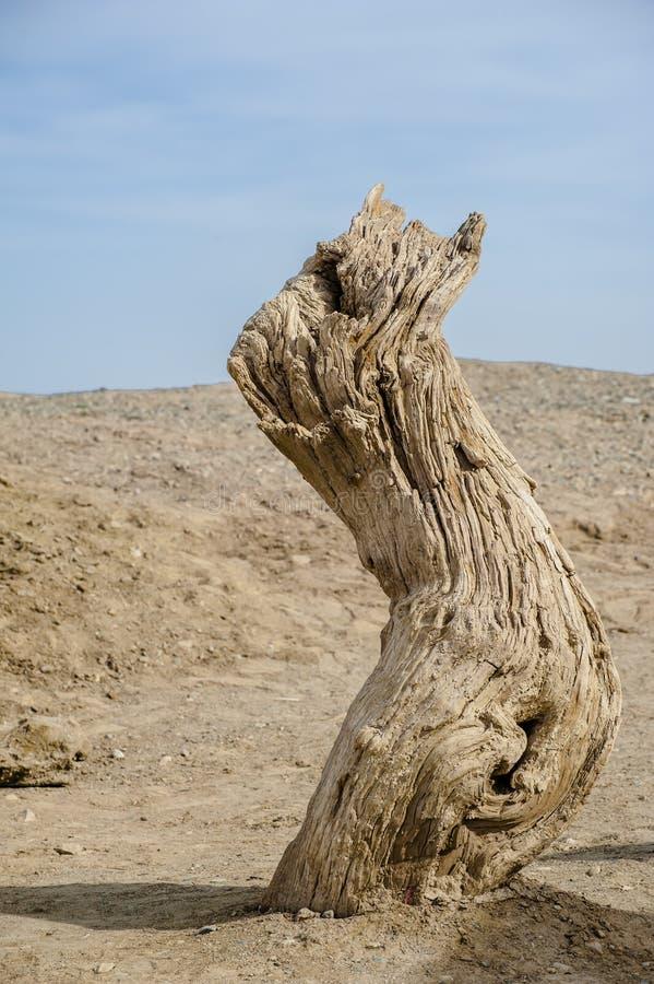 Dead tree trunk in the Gobi Desert royalty free stock photography