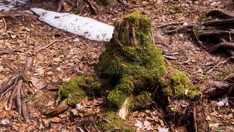 Dead tree trunk with green moss and a little bit of snow royalty free stock images