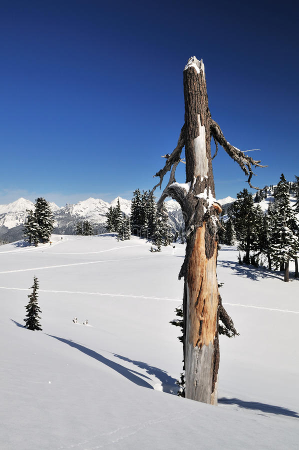 Download Dead Tree Trunk And Mt. Shuksan Stock Photo - Image of tree, forest: 12649662