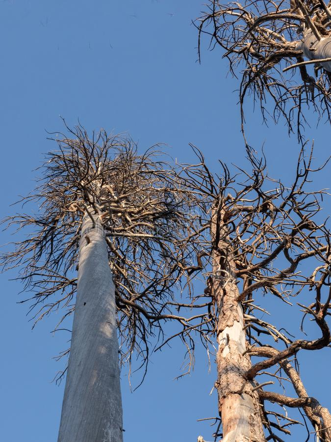 Dead trees against a blue sky royalty free stock images