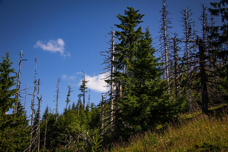 Dead trees within a beautiful healthy forest on a mountain stock photo