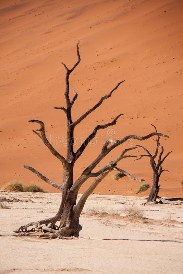 Dead Trees in Deadvlei, Namib Desert, Namibia royalty free stock photography