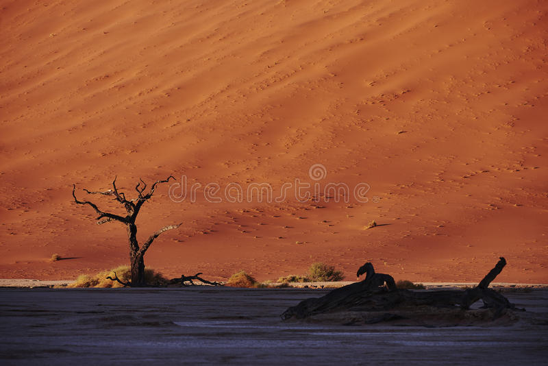 Dead trees in front of red sand dune stock photos
