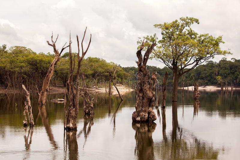 Dead trees on Igarapé on Amazon. Dead trees on Igarape on Amazon river royalty free stock image
