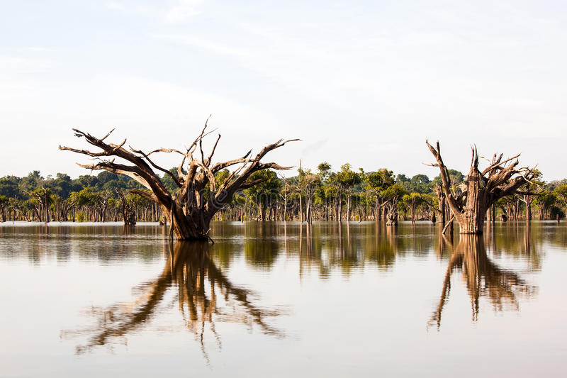 Dead trees on Igarapé - Amazon river. Dead trees on Igarape on Amazon river stock image