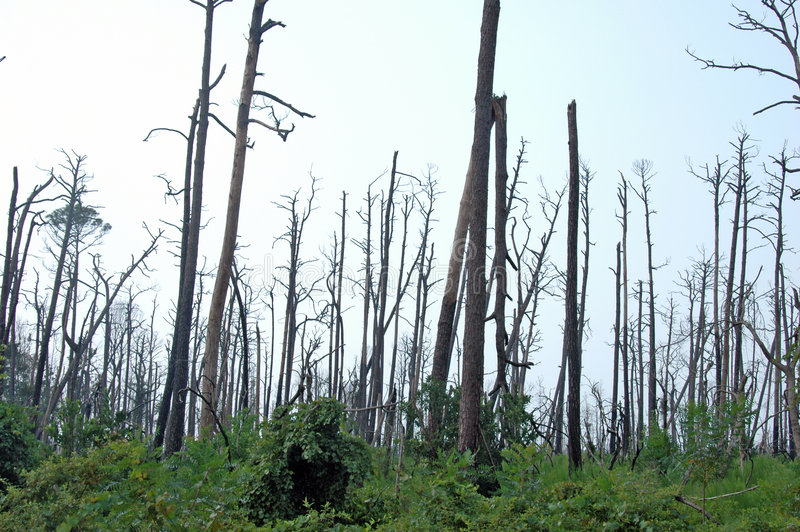 Download Dead Trees From Katrina Stock Photo - Image: 2990290