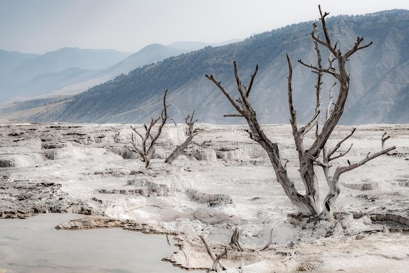 Dead trees at Mammoth Hot Springs, Yellowstone National Park. Wyoming stock images