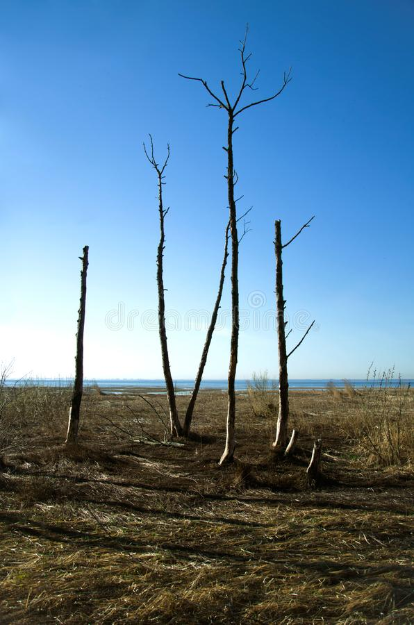 Dead trees in marshy plain. royalty free stock photography