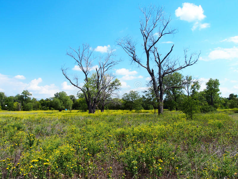Dead Trees in a Meadow. Two dead trees standing in a meadow of yellow flowers under a blue sky stock photo