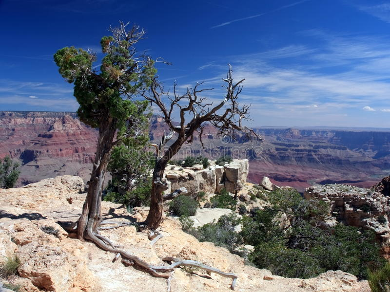 Download Dead Trees On The Rim Of Grand Canyon Stock Image - Image of national, nature: 10261151