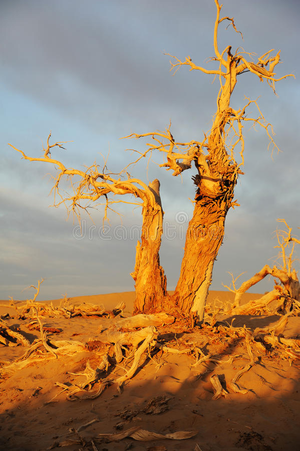 Dead trees. Dead tree of diversifolia populus in the desert royalty free stock photography