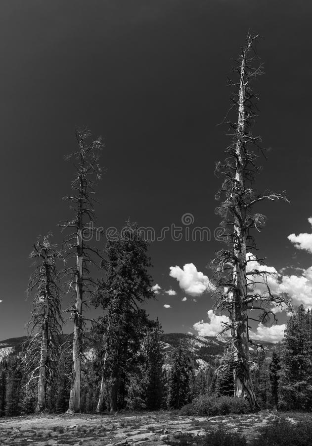 Dead Trees And White Clouds B+W stock images
