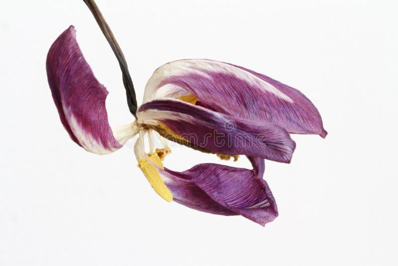 Dead tulip flower. A dead purple tulip flower on a white background royalty free stock photo